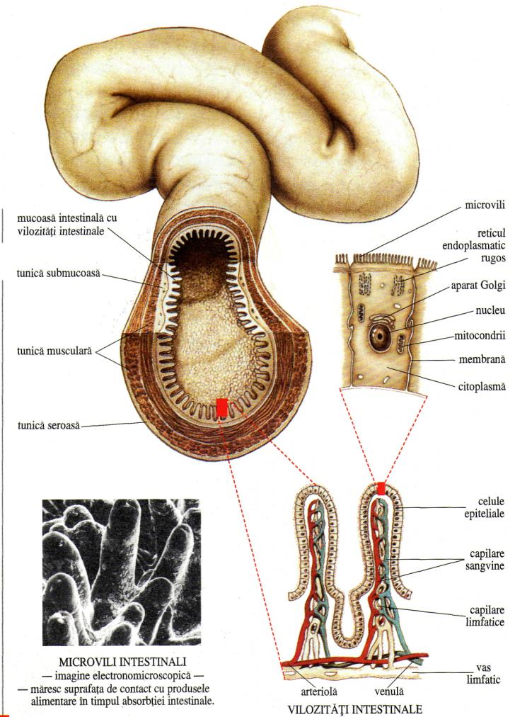 alcatuirea rinichiului