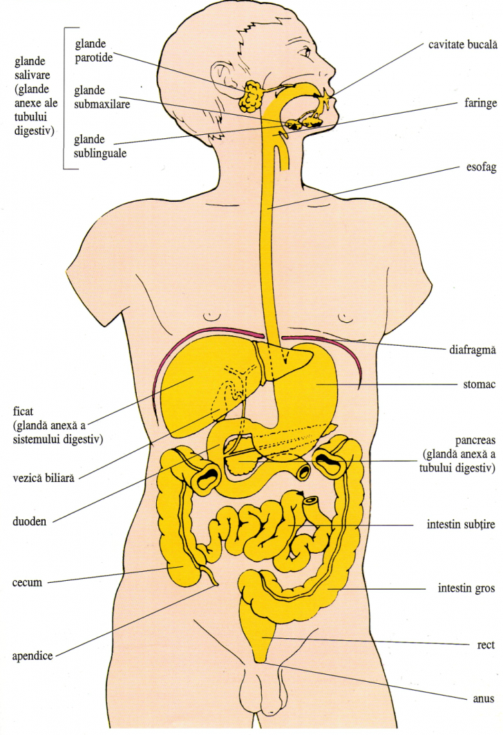 referat sistemul digestiv