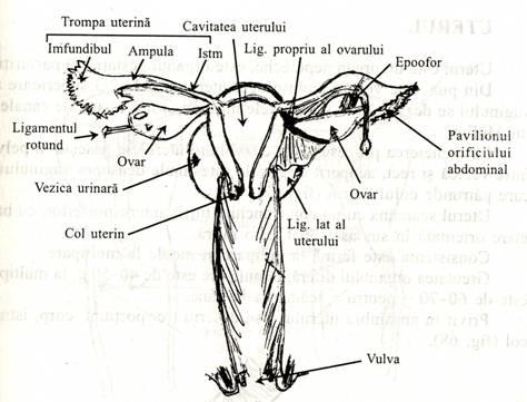 Organele sexuale feminine la cerb