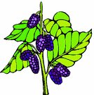 Mulberry Clipart, click for more.